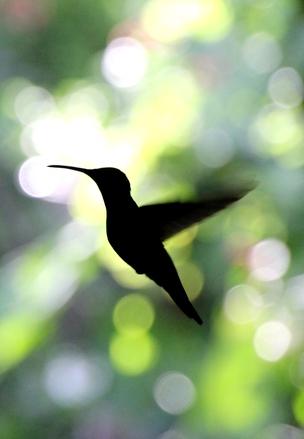 hummingbird-1336491